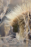 Porcupine in field.  Pacific Northwest. Early spring.