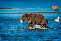 Coastal Brown Bear (Ursus arctos), with a large Salmon she just caught, quickly moves away from the gulls and the Brown Bear competition to eat in peace.  Lake Clark National Park, Alaska.