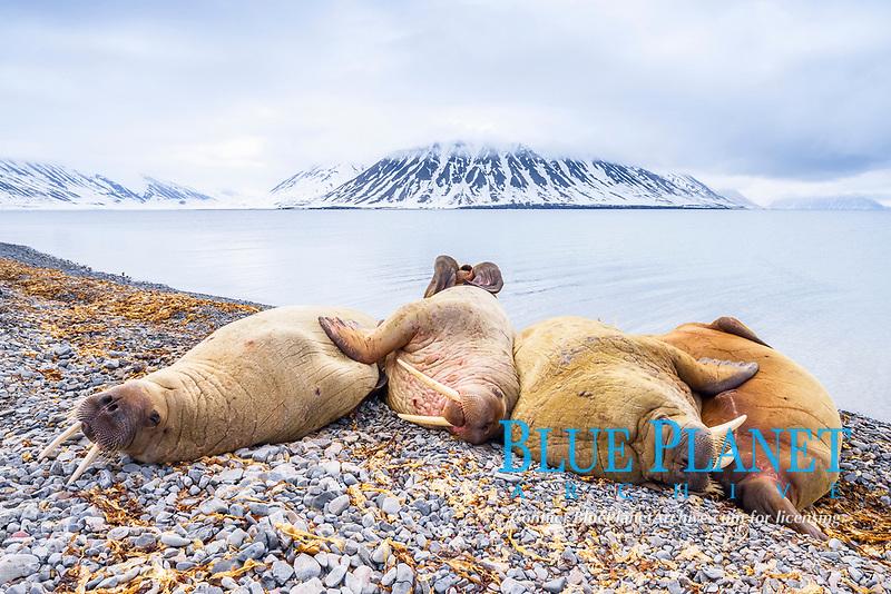 Atlantic walrus, Odobenus rosmarus rosmarus, herd, resting, sleeping on the beach, Woodfjorden, Svalbard, Norway, Atlantic Ocean