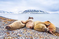 Atlantic walrus, Odobenus rosmarus rosmarus, herd, resting, sleeping on the beach, Woodfjorden, Svalbard, Norway, Atlantic Ocean