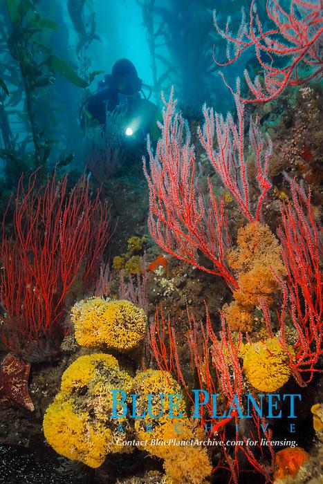 Scuba diver and bryozoans, gorgonians in giant kelp, Macrocystis pyrifera, Santa Cruz Island, Channel Islands National Park, California, Pacific Ocean
