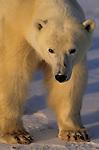 A portrait of a polar bear in Canada.