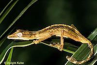 GK13-011a   Lined  Leaf Tailed Gecko - Uroplatus lineatus