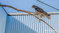 2013-09-05_WILDLIFE_PHS_Release of Red-tailed Hawk