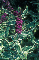 Buddleja 'Masquerade' (variegated Butterfly Bush)