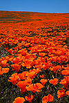 Poppy fields in California's Antelope Valley