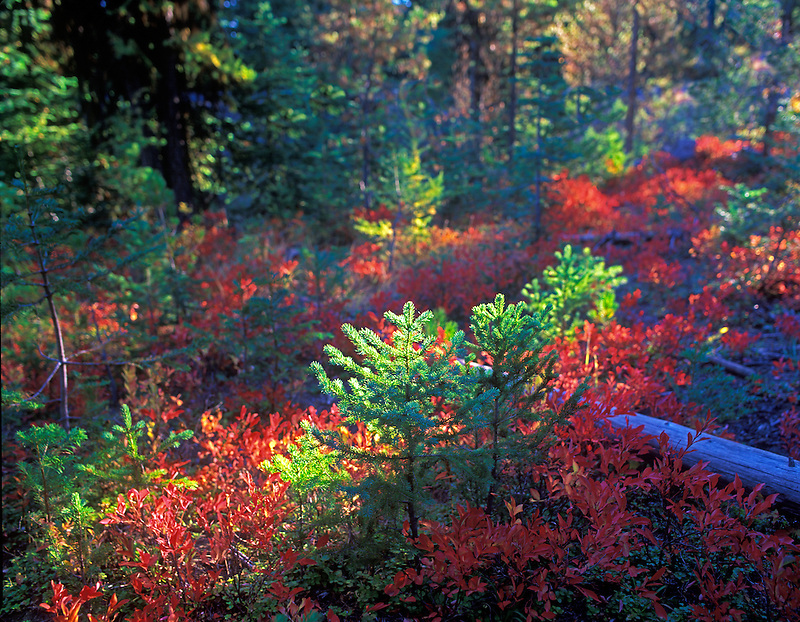 Huckleberry in fall color. Hell's Canyon National Recreation Area, Oregon