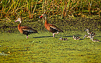 Black Bellied Whistling Ducks, Male Female and five ducklings walking through duckweed in the water