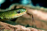 1R04-017z  Smooth Green Snake - sensing with tongue - Opheodrys vernalis