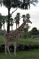 0212-08tt  Reticulated Giraffe, Giraffa camelopardalis reticulata © David Kuhn/Dwight Kuhn Photography