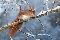 Eichhörnchen, Europäisches Eichhörnchen, im Winter bei Schnee, Sciurus vulgaris, European red squirrel, Eurasian red squirrel