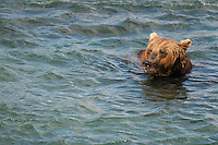 A brown bear swims in search of salmon at the McNeil River Falls,  in Alaska's McNeil River State Game Sanctuary.