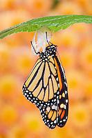 MONARCH BUTTERFLY life cycle..Drying wings on Joe-Pye leaf. .North America. (Danaus plexippus).