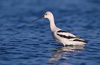 American Avocet, Recurvirostra americana, adult winter plumage, Rockport, Texas, USA, December 2003