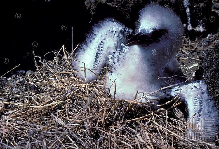 Chick of red-tailed tropic bird (Koa e ula) or Phaethon rubicauda rothschildi, nesting on Lehua islet.