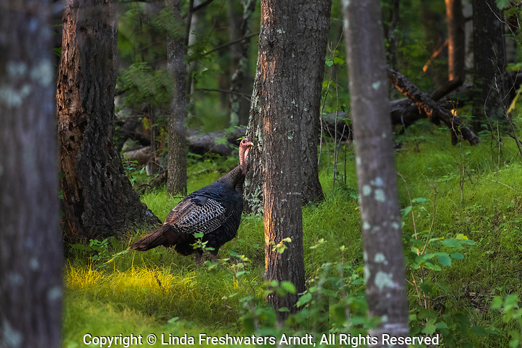 Tom turkey walking in the evening light of a northern forest.