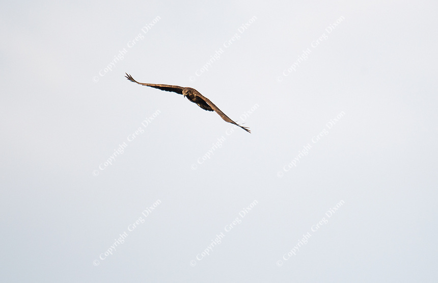 An eagle flies over Helena Island near the Aldo Leopold Foundation, as sandhill cranes look for a location to roost  on Sunday, November 26, 2016, near Baraboo, Wisconsin