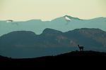 Guanaco (Lama guanicoe) on ridge, Torres del Paine National Park, Patagonia, Chile