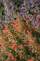 Red flower Penstemon pinifolius compactum, Pineleaf penstemon (pineneedle beardtongue) with 'Walker's Low' Catmint, Nepeta racemosa (mussinii) blue flower perennial in New Mexico drought tolerant garden