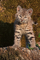 Bobcat Kitten standing in front of a mossy rock - CA