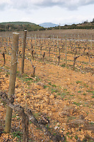 Domaine de Canet-Valette Cessenon-sur-Orb St Chinian. Languedoc. Vines trained in Cordon royat pruning. Terroir soil. The vineyard. France. Europe.