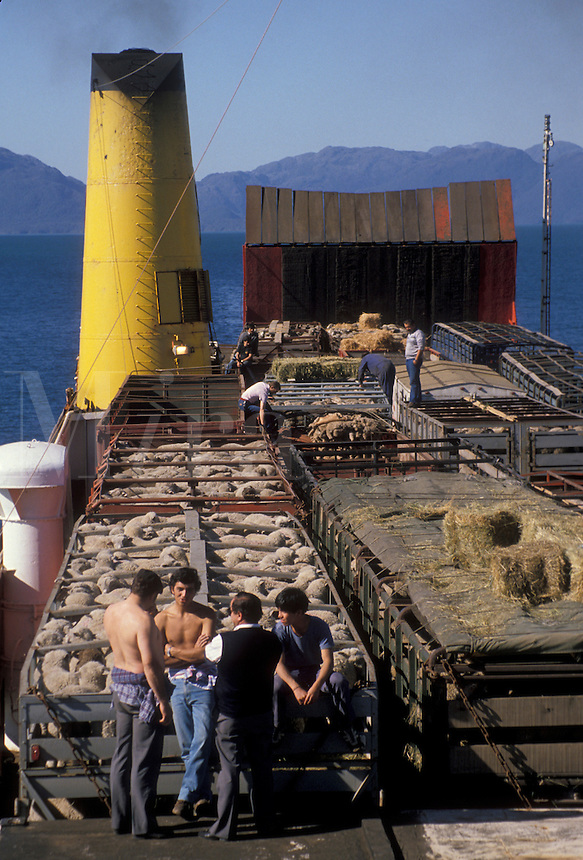 AJ2082, ferry, Patagonia, Chile, Pacific Ocean, Men standing next to livestock that is being transported by a passenger/cargo ferry boat going through beautiful scenery of fjords and icebergs from southern Chile to Puerto Montt.