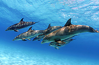 Atlantic spotted dolphins, Stenella frontalis, with bottlenose dolphin, Tursiops truncatus, in foreground showing heavy scarring on flank, Bahamas, Caribbean Sea, Atlantic Ocean