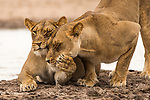 Pictured:  A pair of lionesses share a tender moment.<br /> <br /> Heart-warming pictures capture the tender moments between animals in the wild.  Lions are caught on camera fondly bowing their heads towards each other as a lioness affectionately pulls another closer.<br /> <br /> A pair of elephants also lovingly embrace each other with their trunks as they dip in the water while spotted cheetahs nuzzle together, licking the rain off their faces.  Wildlife photographer William Steel captured the sweet moments between the animals at several national parks in Botswana - including Mabuasehube, Chobe National Park and Khutse Game Reserve.  SEE OUR COPY FOR DETAILS.<br /> <br /> Please byline: William Steel/Solent News<br /> <br /> © William Steel/Solent News & Photo Agency<br /> UK +44 (0) 2380 458800