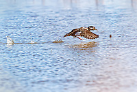 Female bufflehead taking off in flight from water