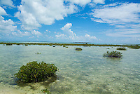Mangroves growing in the waters near Cayo Santa-Maria, Cuba.