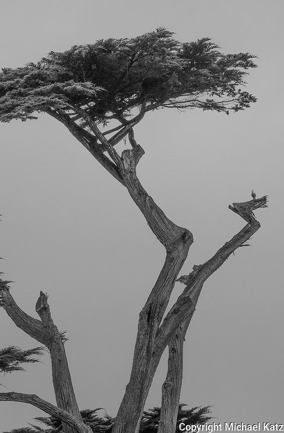 Cypress and Seagull