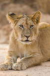 African Lion (Panthera leo) six month old female cub, Kafue National Park, Zambia