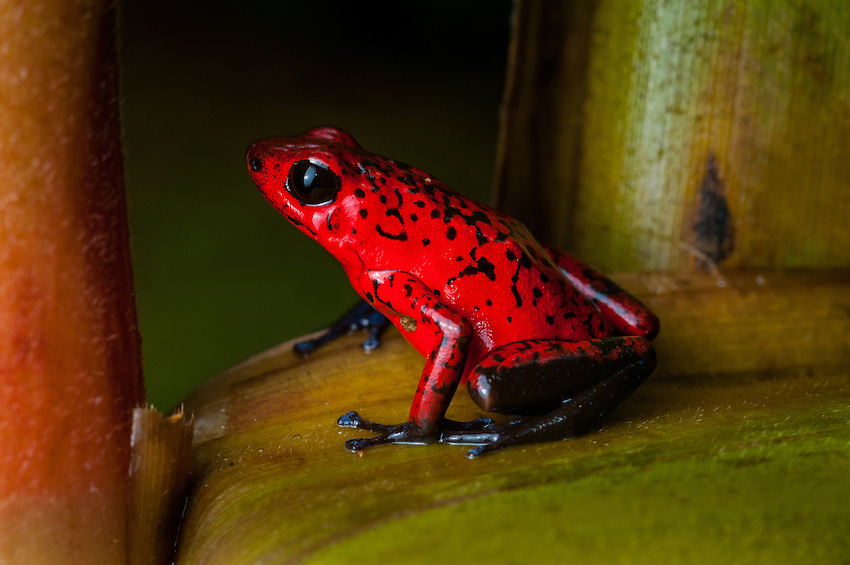 Strawberry Poison Dart Frog (dendrobates pumilio)-- Like other poison dart frogs, this species advertises its danger to predators with bright colors. Its toxins are derived from its diet of ants and are lost when reared in captivity on a diet of fruit flies The female of this species carries her tadpoles on her back to water-filled bromeliads to develop. Siquirres, Costa Rica. -- Like other poison dart frogs, this species advertises its danger to predators with bright colors. Its toxins are derived from its diet of ants and are lost when reared in captivity on a diet of fruit flies The female of this species carries her tadpoles on her back to water-filled bromeliads to develop. Siquerres, Costa Rica. -- Like other poison dart frogs, this species advertises its danger to predators with bright colors. Its toxins are derived from its diet of ants and are lost when reared in captivity on a diet of fruit flies The female of this species carries her tadpoles on her back to water-filled bromeliads to develop. Siquerres, Costa Rica.