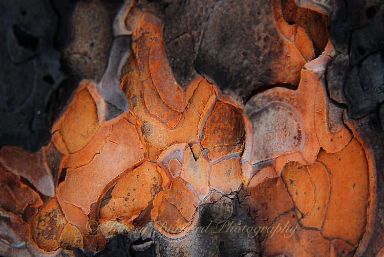 """""""SURVIVOR""""<br /> <br /> Natural designs found in the bark of Ponderosa trees. A small patch of bark that survived a forest fire."""