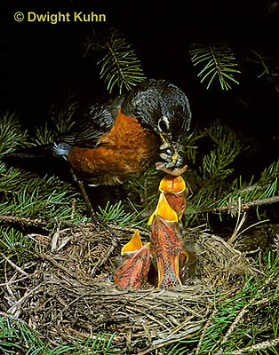 RO03-004z   American Robin - adult feeding young birds at nest - Turdus migratorius