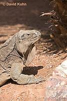 0628-1104  Anegada Ground Iguana (Stout Iguana), Cyclura pinguis  © David Kuhn/Dwight Kuhn Photography