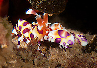 An underwater macro view of a harlequin shrimp off of Kahe Point along the Waianae coast of O'ahu.