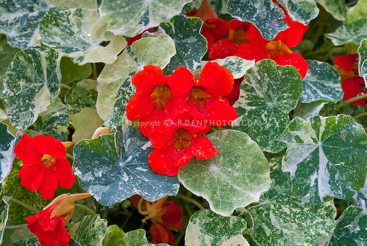 Tropaeolum majus (Nasturtium) 'Alaska Scarlet' with variegated foliage, red flowers