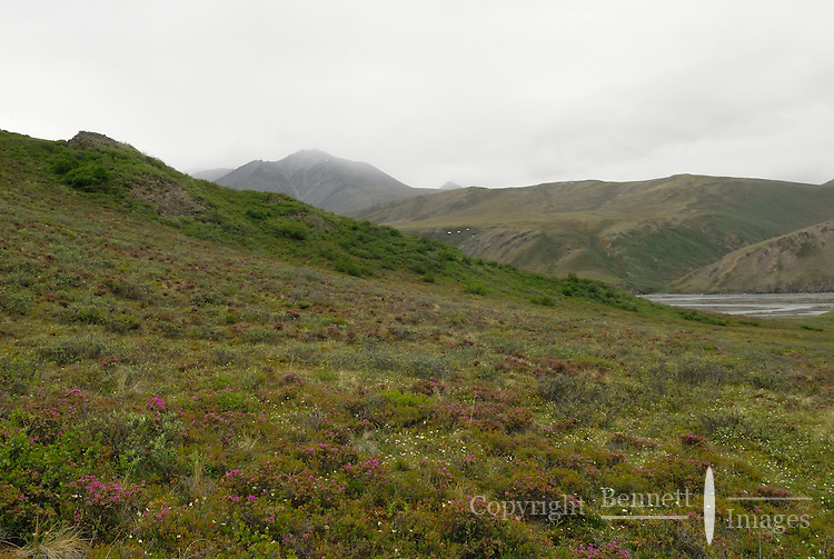 Bright flowers show of their colors even on a cloudy day on a tundra hillside along the Kongakut River, in Alaska's Arctic National Wildlife Refuge.