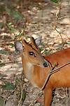 Common Red Muntjac Deer