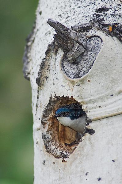 Tree Swallow,Tachycineta bicolor,adult male in nesting cavity in aspen tree, Rocky Mountain National Park, Colorado, USA, June 2007