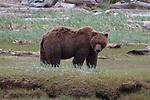 Adult Grizzly bear eating sedge grass in Katmai National Park, Alaska