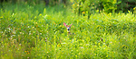 White-tailed fawn browsing in a northern Wisconsin meadow.