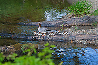 Common Merganser (Mergus merganser) female with young ducklings in small stream.  Pacific Northwest.  Common Mergansers are found across the northern hemispere and outside North American are commonly referred to as Goosander.