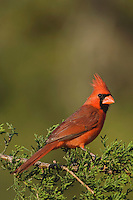Northern Cardinal, Cardinalis cardinalis, male on Mountain Cedar (Juniperus ashei), Uvalde County, Hill Country, Texas, USA, April 2006