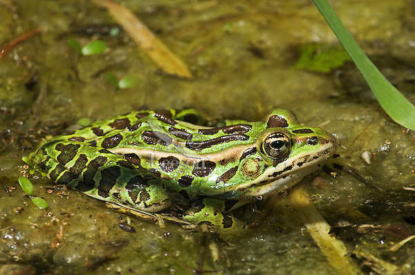 Northern Leopard Frog (Rana pipiens) male in breeding pond, May, Mountsberg Conservation Area in the Niagara Escarpment, southern Ontario, Canada.