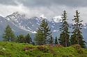 Alpenrose (Rhododendron ferrugineum) in mountain landscape. Nordtirol, Austrian Alps