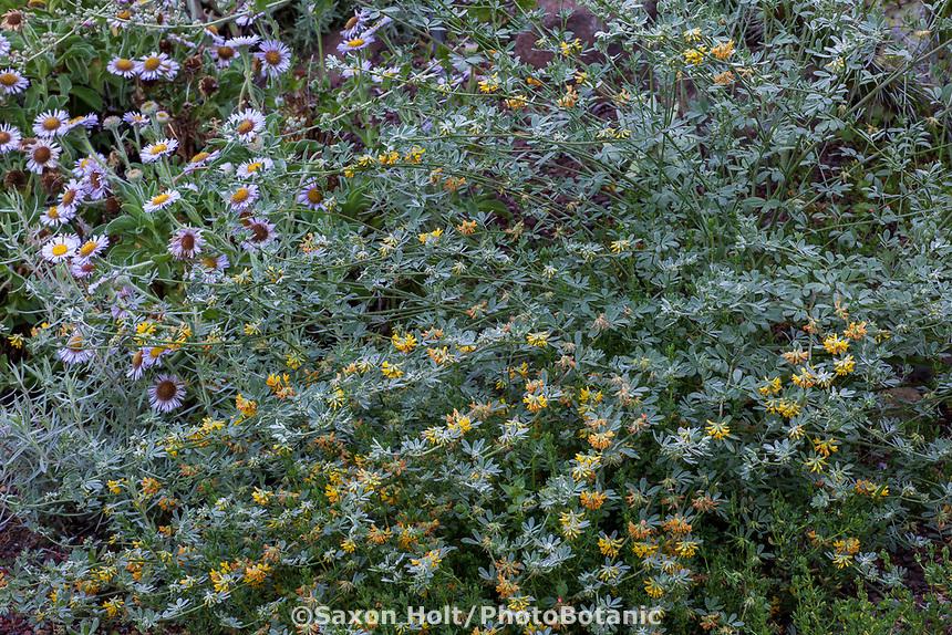 Acmispon argophyllus var. niveus - Silver Lotus or Santa Cruz Island bird's-foot trefoil flowering in California native plant garden, Regional Parks Botanic Garden, Berkeley, California