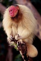 A espécie difere de todas as outras formas de Cacajao por possuir uma pelagem em tom vermelho-escuro ou laranja-avermelhado em todo o corpo, exceto no manto (nuca e uma pequena parte das costas), que tem, em contraste, coloração camurça ou acinzentada.<br /> É um táxon pertencente à família Pitheciidae. A distribuição geográfica é mal conhecida. Existem apenas sete pontos de registro empírico para o táxon. Apesar de terem sido parcialmente confirmadas por dois espécimes da coleção do Museu de Zoologia da Universidade de São Paulo, identificados por José Márcio Ayres (Buiuçu, margem noroeste do canal Auati-Paraná), tais hipóteses ainda carecem de verificação mais acurada, a partir de um levantamento sobre ocorrências em toda a região.<br /> <br /> Uacari-Branco, acari, macaco-inglês ou simplesmente uacari (nome científico: Cacajao calvus) é um macaco do Novo Mundo do género Cacajao, e família Pitheciidae encontrado originariamente na Amazônia brasileira.<br /> <br /> A pelagem é laranja-pálido, amarelada, acinzentada ou esbranquiçada. As superfícies ventrais são alaranjadas ou amareladas, assim como a cauda. A barba é avermelhada, tornando-se mais escura distalmente. A face, as orelhas e a genitália são desprovidas de pelos, sendo a face e as orelhas pouco pigmentadas, mosqueadas ou despigmentadas e a genitália enegrecida.<br /> <br /> Locomove-se no alto dos galhos através de diferentes tipos de movimentos: utilizando-se dos quatro membros sem posição horizontal, saltado de galhos altos para galhos mais baixos e, verticalmente, escalando os troncos.<br /> <br /> Se alimenta de frutos, insetos, sementes, néctar e brotos de plantas. Os machos pesam 3,5 kg, e as fêmeas, 2,7 kg. Eles habitam as florestas de terra firme e de várzea do norte da Amazônia. Os machos atingem a maturidade sexual por volta dos 66 meses e as fêmeas aos 43 meses.Outra característica importante é que eles adoram pular de galho em galho como os outros macacos.<br /> Tefé, Amazonas, Brasil.<br /> F