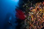 Red Whip Coral (Ellisella cercida), Raja Ampat with diver